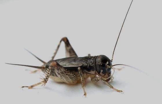 吃昆虫可防癌?英媒:蝗虫和蟋蟀含有大量抗氧化剂